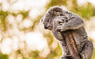 koala, cute animals, gray teddy bear, koalas, Australia