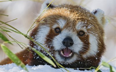 red panda, muzzle, zoo, snow, funny animals