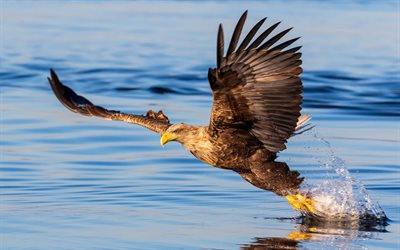 Bald eagle, North America, bird of prey, hawks, flying eagle, wingspan, USA symbol, beautiful bird, USA