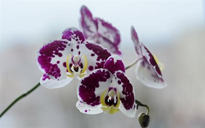 purple white orchids, tropical flowers, orchids, beautiful flowers, orchid branch
