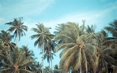palms, coconuts, evening, blue sky, palm branches, tropical island, beach