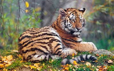 small tiger, wildlife, forest, predator, tigers, autumn, wild animals