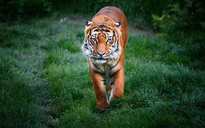 tiger, green grass, de la faune, du tigre, predator, wild animals