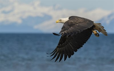bald eagle, North America, flying eagle, beautiful birds, birds of prey